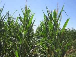 colorado-high-plains-corn-1024